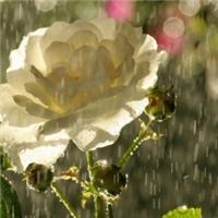 唯美意境雨中的花朵图片