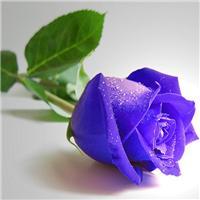 紫玫瑰花图片:紫玫瑰花图片大全大图