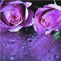 紫玫瑰花图片唯美:紫玫瑰花语