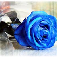 一支蓝玫瑰图片大全:蓝玫瑰图片唯美