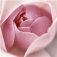 玫瑰带字的图片:玫瑰花图片带字的图片