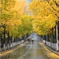 ,行人雨中漫步青岛八大关景区湛山二路