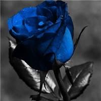 玫瑰象征着美好的爱情,象征着甜蜜的恋人永久地在一起,因此玫瑰也被誉