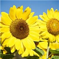 向日葵之所以灿烂,是因它时刻微笑着面对阳光