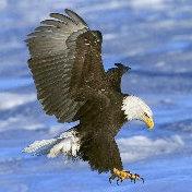 老鹰微信头像
