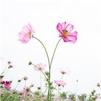 在藏语中,格桑是美好时光或幸福的意思#花草#小清新