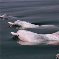 广西钦州三娘湾海域成为中华白海豚的乐园#动物
