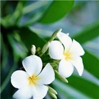 【老挝国花】#花草#小清新#森系