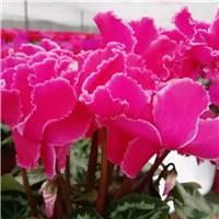 鲜花代表希望和春天,我希望能给他们带去春天般的问候和祝福.#花草