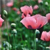 罂粟花——希望,伤害她/她的爱;代表着毒辣和狠毒   悲伤的红罂粟—#花草#小清新