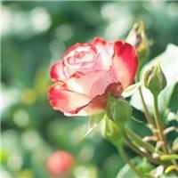 一花一叶一世界』蔷薇花,唯美意境,小清新植物壁纸绿色的世界充满希望#花草#小清新#森系