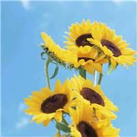 太阳是向日葵的孩子,每人心里都有一株向日葵,人生就会充满希望#花草#小清新#唯美