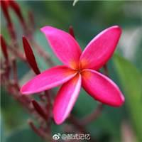 孕育希望,复活,新生一一红鸡蛋花.#花草#小清新