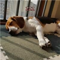 上班累成狗了吗? 其实此刻狗子是这样滴! 它哪有你累?#狗狗